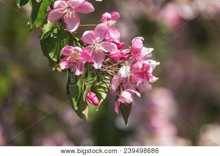Spring Background Art With Pink Apple Tree Blossom. Beautiful Nature Scene With Blooming Tree And Su