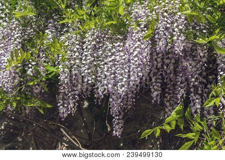 Closeup Of Pink Flower Clusters Of An Wisteria In Full Bloom In Spring.