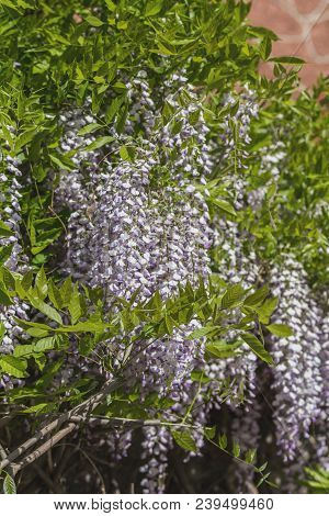 Closeup Of Pink Flower Clusters Of An Wisteria In Full Bloom In Spring. Beautiful Nature Scene With