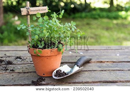 Potted Salad Burnet (sanguisorba Minor) With A Wooden Plant Marker And A Planting Shovel On A Rustic