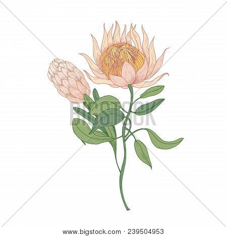 Pink Protea Or Sugarbush Blooming Flowers Isolated On White Background. Gorgeous Detailed Drawing Of