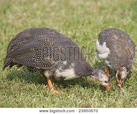 Eating Guineas
