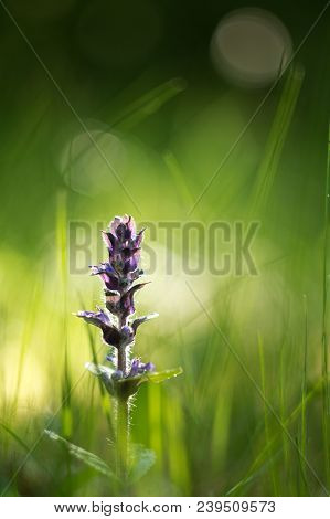 The Creeper (ajuga Reptans L.) Is A Species Of Dicotyledonous Plant Of The Mummy Family. It Grows In