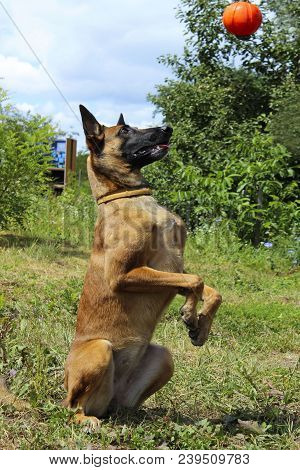 Dog Playing With A Red Ball. Full-length Shot Of A Dog Playing With A Red Ball. Malinois Dog Playing