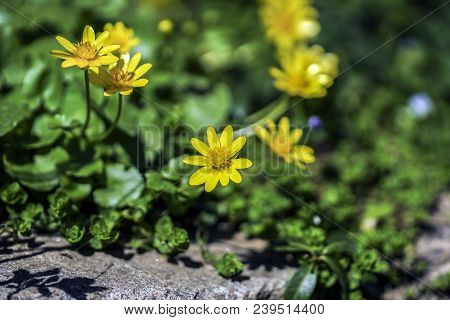Yellow Flowers In The Sun, Isolated On Blurred Background, Close-up Wildflowers