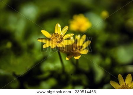 Couple Of Yellow Flowers At Sunset Isolated On Blurred Background, Close Up Of Wildflowers