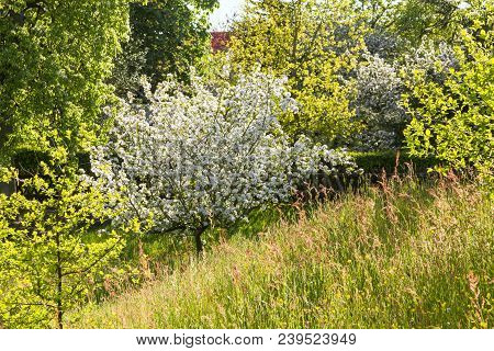 Beautiful Flowering Orchard Meadows In Spring, Lüneburg Heath. Northern Germany Backlit Photograph
