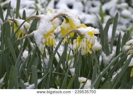 A Patch Of Colorful Daffodil Flowers Covered And Bent Over With Snow, Struggles To Survive The Grip