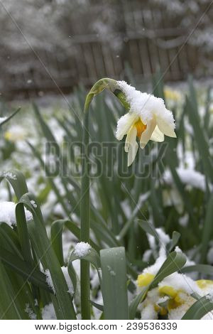 A Colorful Daffodil Flower Bent Over By Snow, Struggles To Survive The Change From Winter To Spring