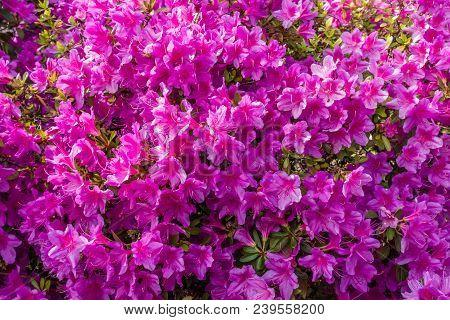 Background Shot Of Brilliant Pink Azalea Flowers.