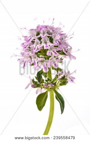 Summer Savory Flowers Isolated On White Background