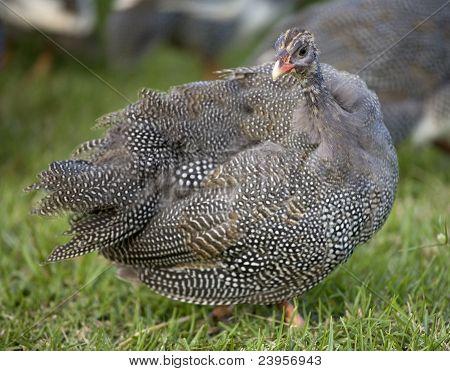 Look Back Hen