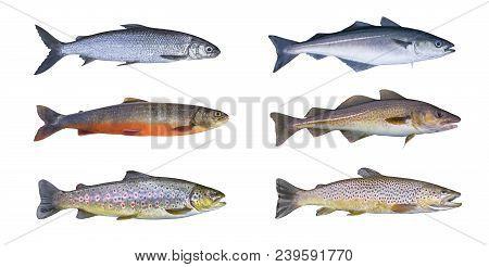 Norway Fish Set. Whitefish, Arctic Char, Brook Brown Trout, Pollock Fish, Coalfish, Saithe, Cod Fish