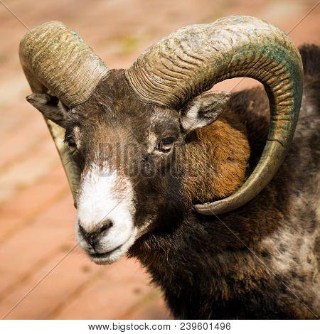 Animal Portrait Of Mouflon Or Wild Goat With Big Curvy Horns.