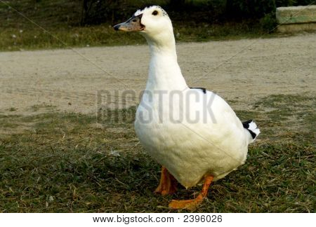 Duck Walking In A Park