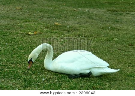 Swan In The Green Grass