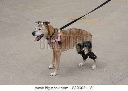 Aging Boxer Mixed Breed Dog With Two Orthotic Knee Stifle Braces Happy To Be Out For A Walk After Se