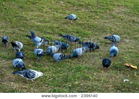 Pigeons In The Grass