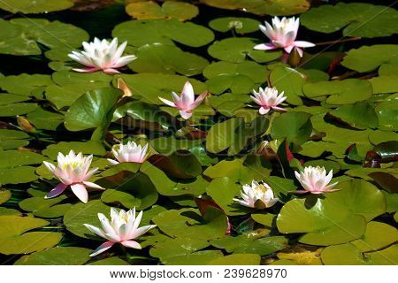 Lily Pads With Lotus Flowers At A Pond Taken In A Zen Meditation Garden