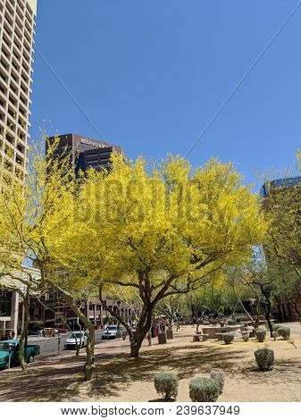 Phoenix, Az, Usa - April 18, 2018: Palo Verde Or Parkinsonia Aculeata Tree Golden Crone With Bloomin