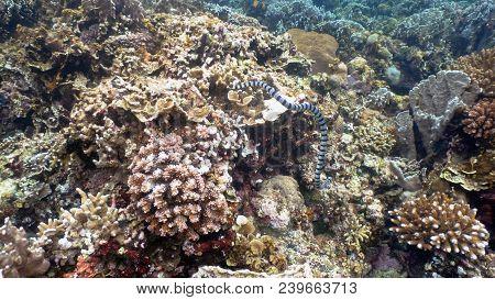 Sea Snake On Coral Reef. Banded Sea Snake Underwater.wonderful And Beautiful Underwater World. Divin