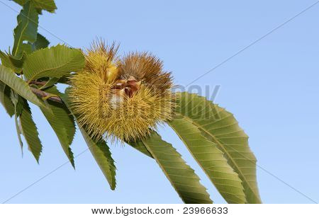 chestnuts in the shell