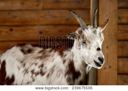 Portrait Of Female African Pygmy Goat. Photography Of Nature.