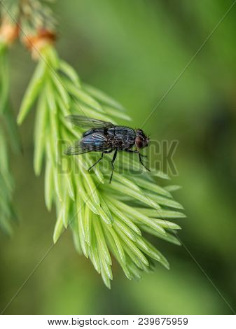 Close Up Of A Black And Green Fly On A Green Branches Of Coniferous Tree.fly Is Carrier Of Diarrhoea