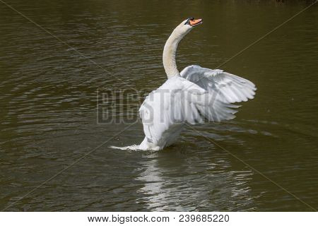 Photo Of A Male Mute Stretching His Wings With Reflections In The Water