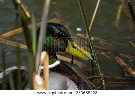 Photo Portrait Of A Male Mallard Duck