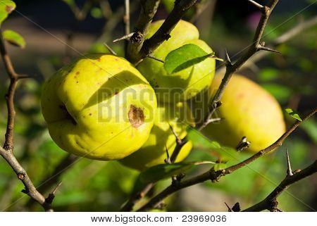 Japanese Quince (chaenomeles) Fruits