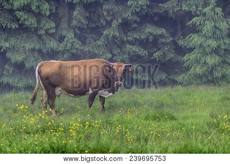 Cow In The Morning Grazes On The Village Pasture. Carpathians