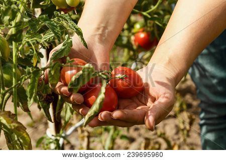 Tomatoes. Picking Tomatoes In A Garden Garden. Garden With A Harvest Of Tomatoes. Fresh Vegetables.