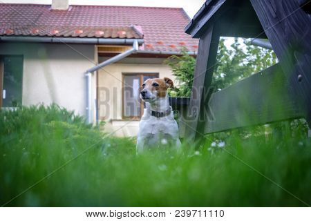Jack russel terrier on lawn near house. Happy Dog with serious gaze poster