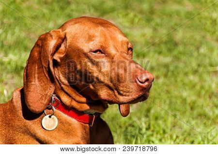 Hungarian Vizsla dog portrait in the nature. Hungarian pointer Vizsla, sniffing on hunt. Dog a loyal friend of a hunter. Detail of dog head poster