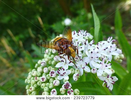 Photo Of A Beautiful Hornet Mimic Hoverfly Sitting On A Plant