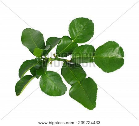 Bergamot Leaves On White Background  Organic, Fresh, Ingredient, Herb, Food
