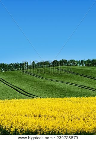 Field Of Rapeseed, Canola Or Colza, Brassica Napus  With Green Field Hilly Background With Tractor
