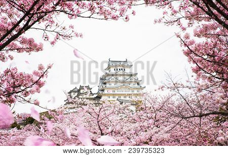 Himeji Castle With Frame Of While Cherrry Blossoms Viewing Festival, Kyoto Japan, This Immage Can Us