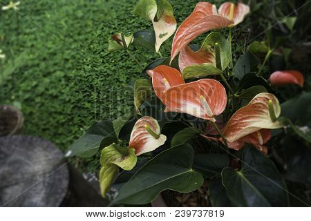 Anthurium-flamingo Flower Bloom In The Garden, Stock Photo