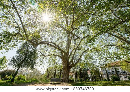 Branchy Plane Tree On The Square Next To Dukes Of Braganza Palace In Guimaraes City, Norte Region Of
