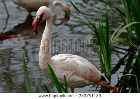 Close-up Of Flame-colored Flamingo Bird Wading In The River. Photography Of Wildlife