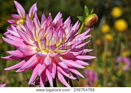 Rose- Colored Dahlia Flower In The Botany Garden