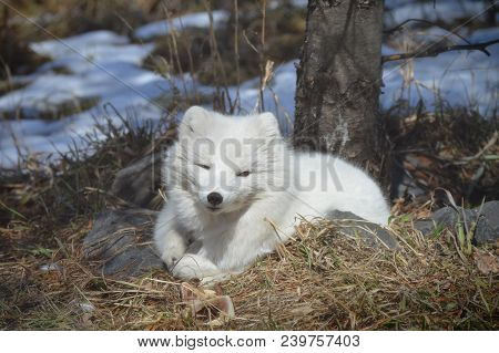 A Arctic fox curled up on the ground during winter