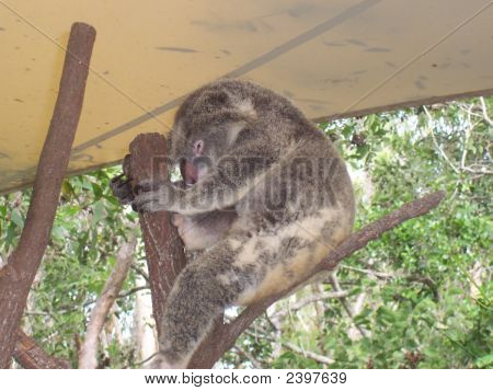 Sleeping time koala sleep peacefully