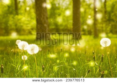 White dandelions on green grass field in a summer forest with trees on a background. Dreamy fairytale landscape poster