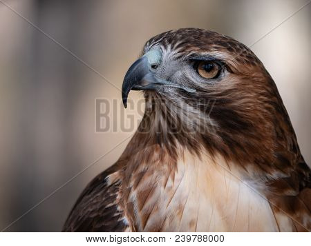 Close Up Portrait Of Red-tailed Hawk In Profile
