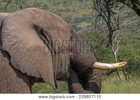 Head Tusks Ears And Trunk Of  Elephant Drinking Water