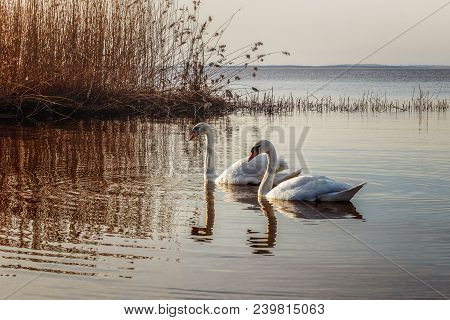 White Swans Floating In The Sun On The Edge Of The Sea
