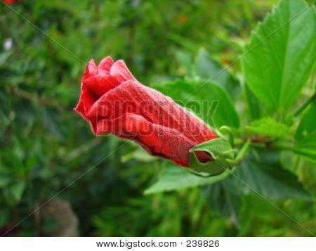 Closed Hibiscus